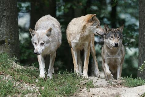 Free photo: Timber Wolves, Wolves, Family, Pack - Free