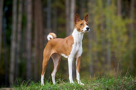 Are There Dog Breeds That Don't Bark? - Animals | Katalay